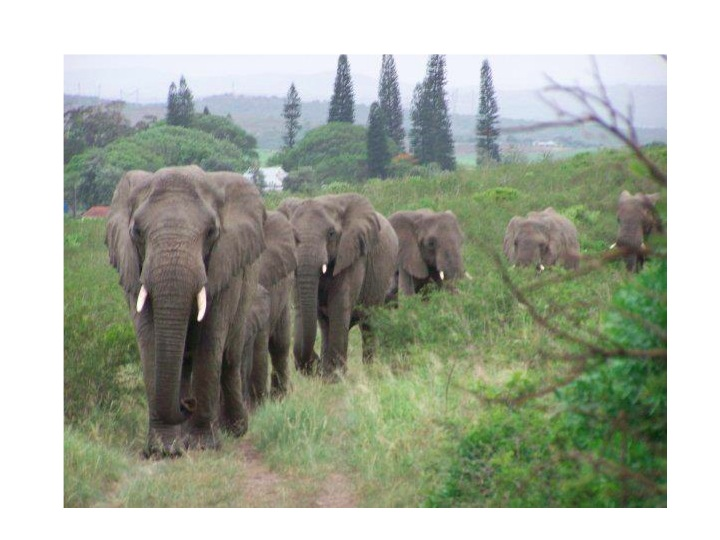 Elephants walking single file