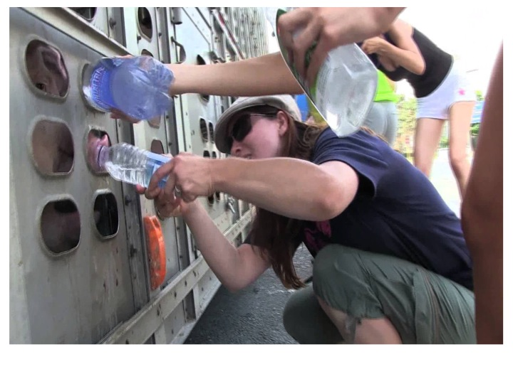 Animal activists giving pigs water prior to slaughter
