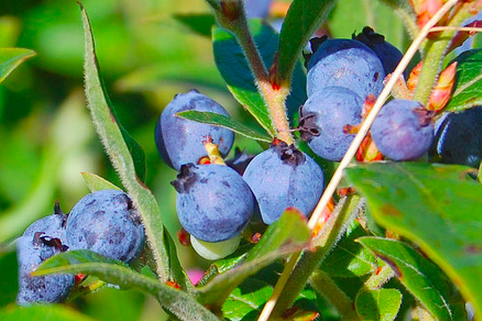 Wild Blueberries of Maine