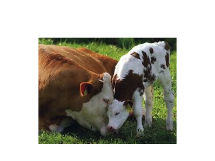 Mother Cow and Her Calf